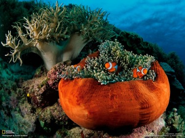 fish national geographic sea anemones underwater 1600x1200 wallpaper_www.wallpaperhi.com_39