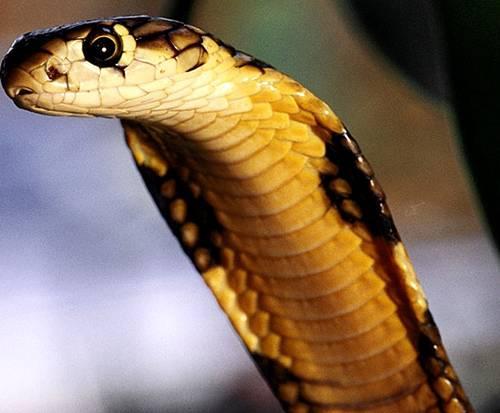 king-cobra by vnnb2.
